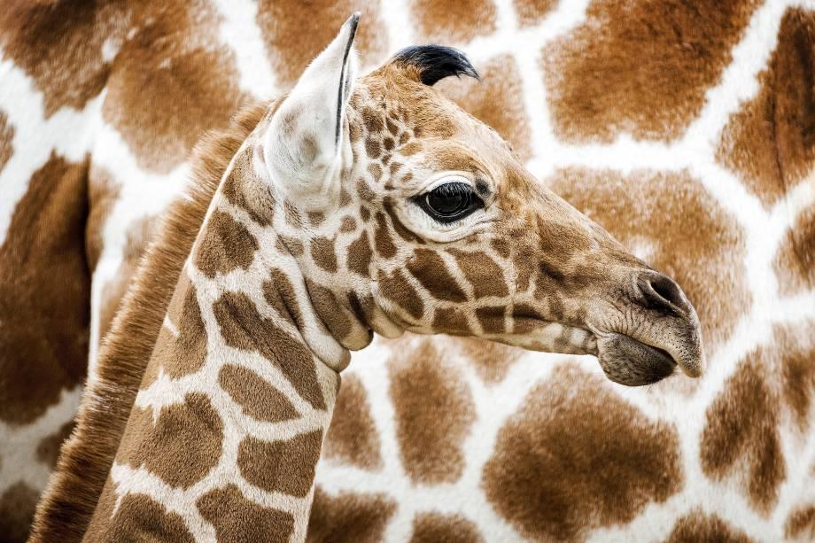 Girafa recém-nascida é apresentada pela primeira vez ao público no zoológico de Artis em Amsterdã, na Holanda - 21/11/2016