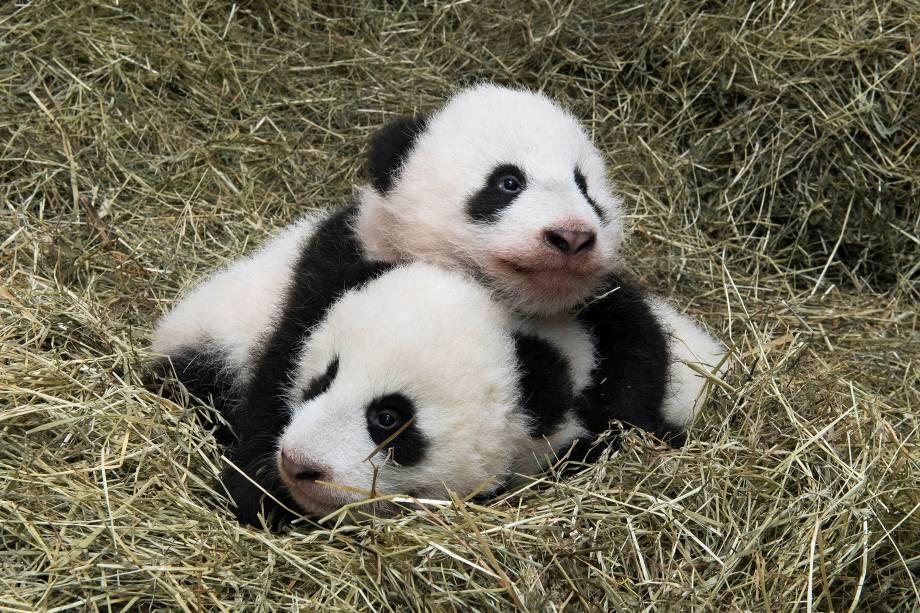 Filhotes gêmeos de panda gigante Fu Feng e Fu Ban, nascidos em agosto, são vistos em imagem divulgada pelo zoológico Schoenbrunn em Viena, na Áustria - 23/11/2016