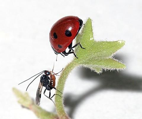 A vespa se aproxima da Joaninha inocente; o objetivo é injetar um ovo em seu abdômen sem que a coitadinha perceba. Nem dói...