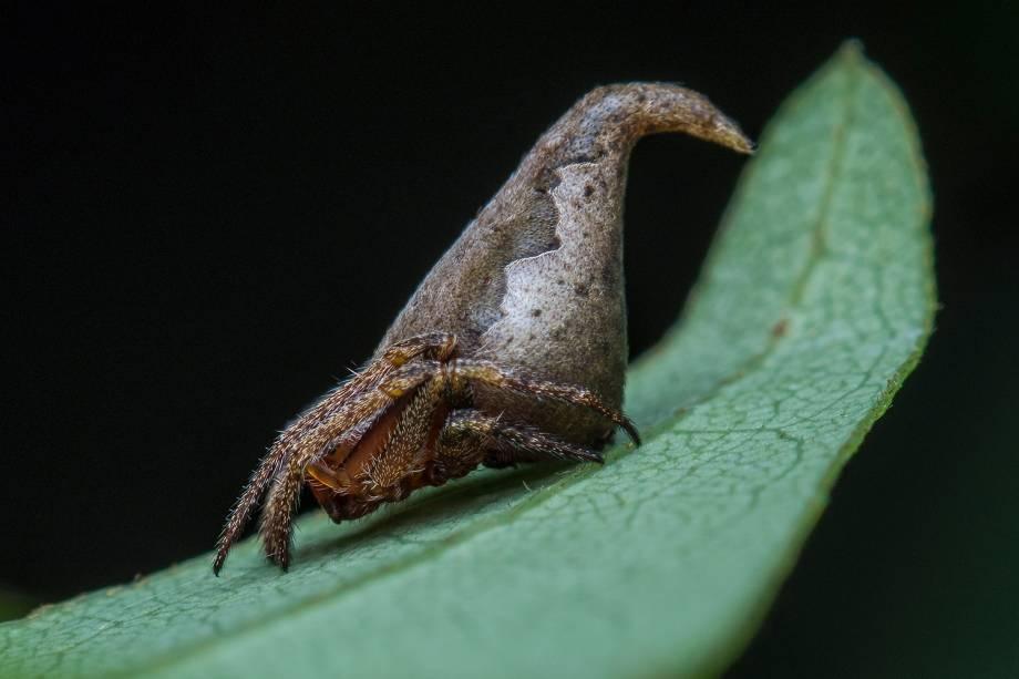 Espécie de aranha, Eriovixia gryffindori