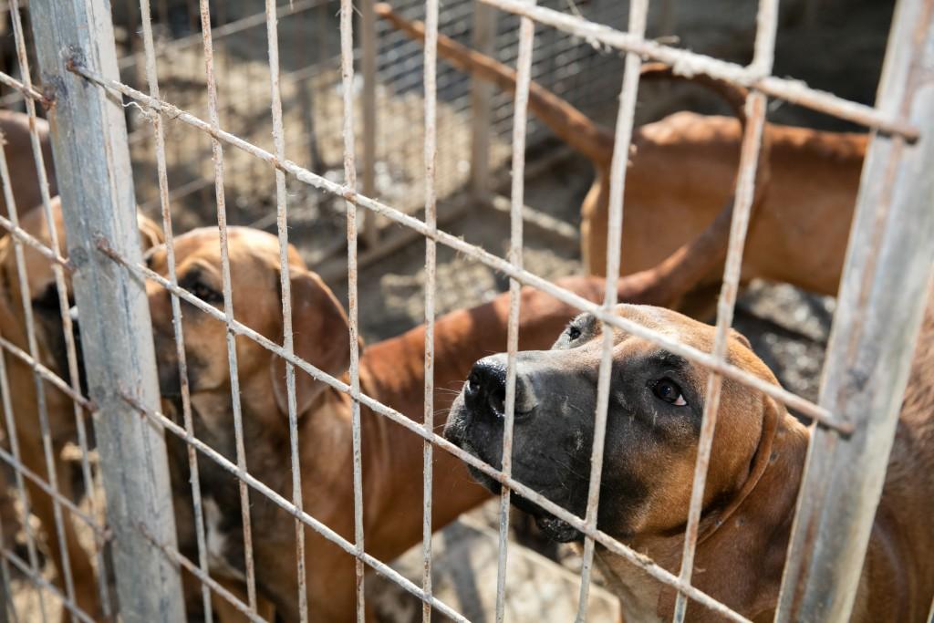 Cachorros em fazenda em Chungcheongnamdo, na Coreia do Sul. Foto cortesia da Humane Society International