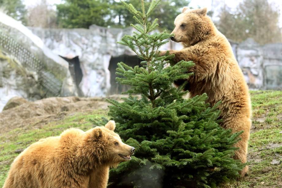 Os ursos marrons, Smilla e Frida, interagem com um pinheiro de natal no zoológico de Gelsenkirchenm ba Alemanha