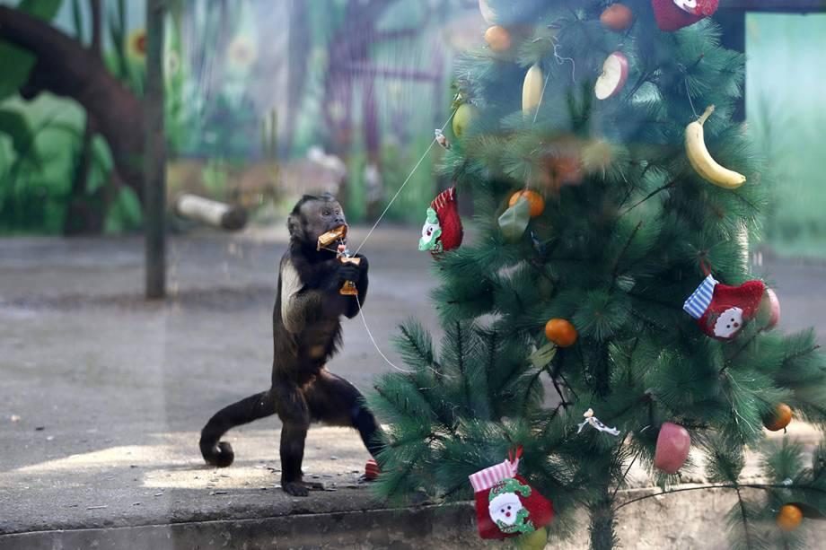 Um macaco pega uma fruta de uma árvore de natal no zoológico de Zhengzhou, na China