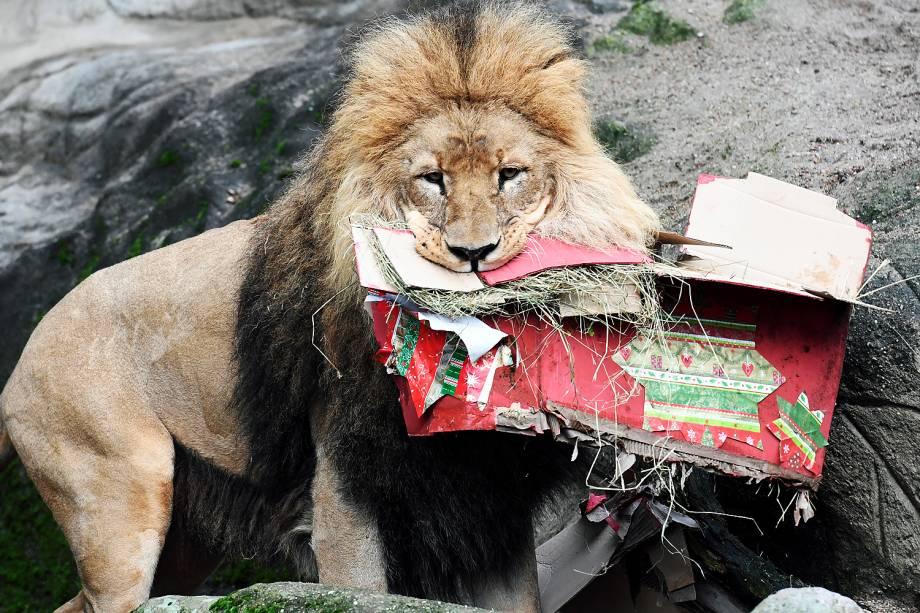 Leão recebe presentes de Natal no zoológico de Hamburgo, na Alemanha