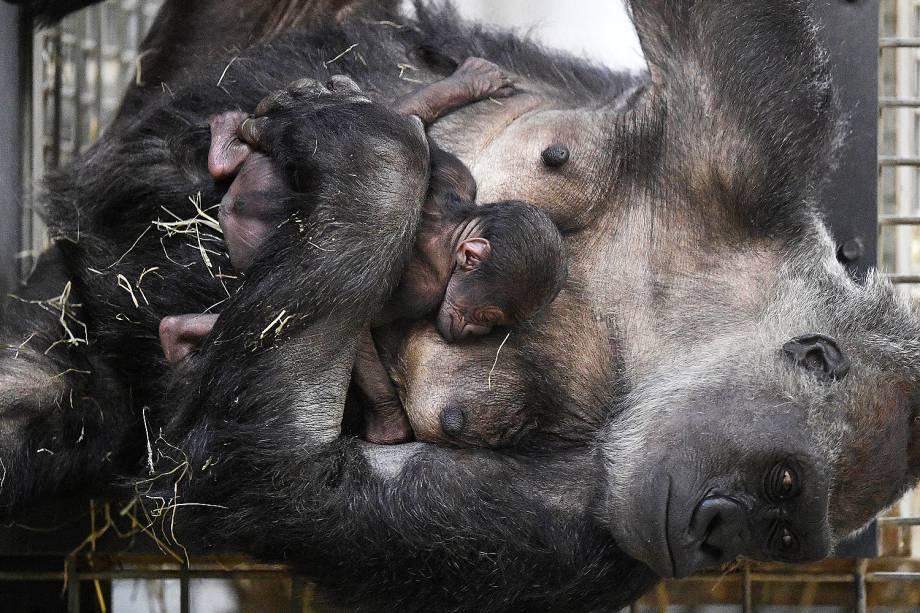 Mãe gorila Changa Maidi segura seu bebê um dia após seu nascimento no jardim zoológico em Muenster, Alemanha - 08/12/2016