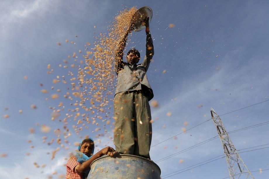 Fazendeiro trabalha em uma plantação de trigo nos arredores da cidade de Ahmedabad, Índia - 08/12/2016