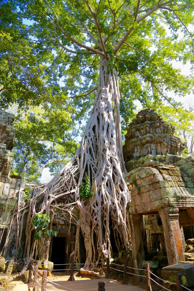 A árvore que ganhou o nome de Tomb Raider depois que o filme foi gravado por lá