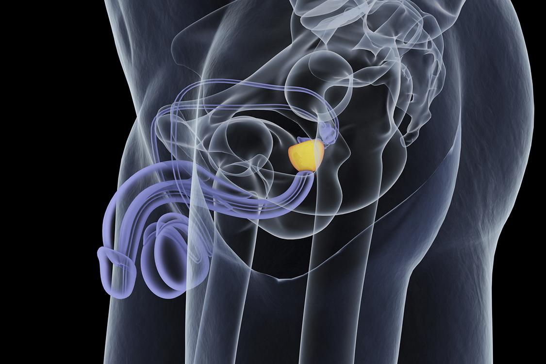 prostate anatomie 3d