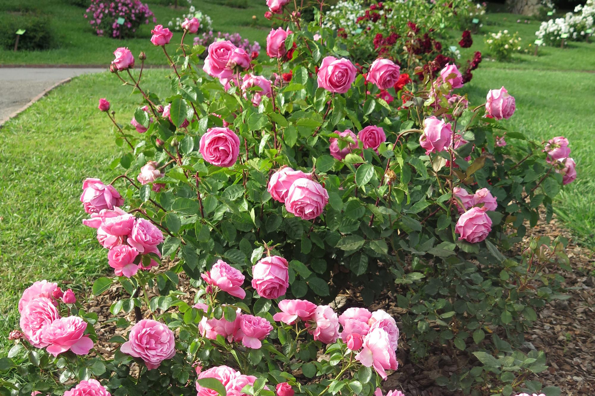 rose of pink roses