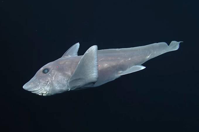 """Tubarão-fantasma, também chamado de """"quimera"""", filmado pela primeira vez"""