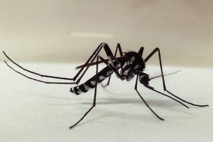 O mosquito 'Haemagogus leucocelaenus', que transmite a febre amarela silvestre