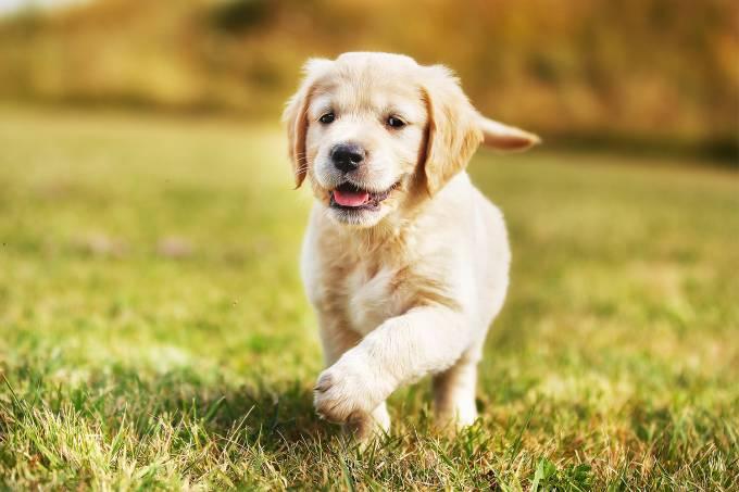 Cão labrador