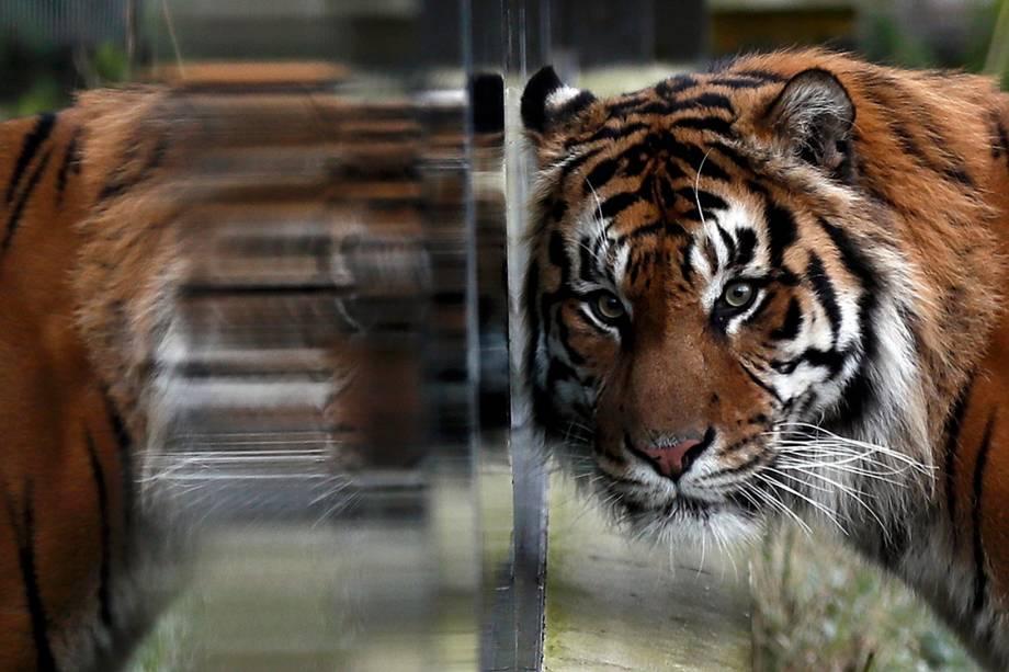"""Tigre """"Jae Jae"""" descansa em sua jaula enquanto funcionários realizam contagem anual de animais no zoológico londrino, na Inglaterra - 03/01/2017"""