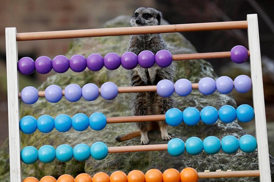 """Suricate """"ajuda"""" na contagem de animais que acontece anualmente no zoológico de Londres, na Inglaterra - 03/01/2017"""