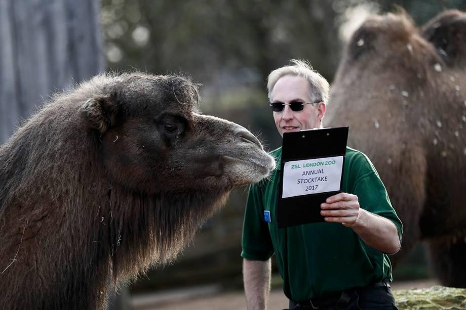 Funcionário do zoológico de Londres brinca com camelo durante contagem de animais que acontece anualmente, para que o zoológico continue funcionando - 03/01/2017