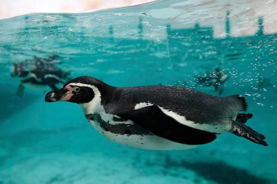Pinguins nadam em tanque após contagem anual de animais no zoológico de Londres - 03/01/2017