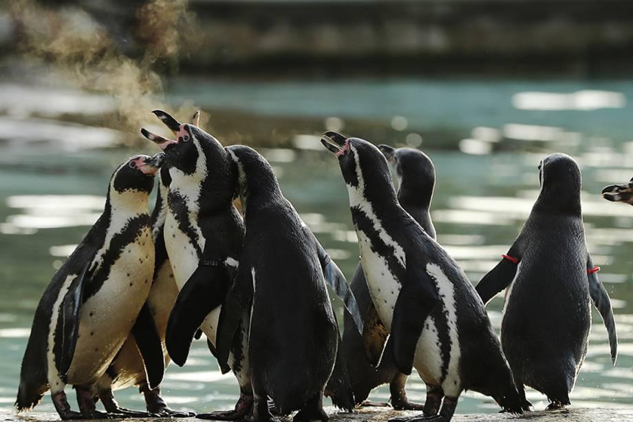 Pinguins brincam do lado de fora de tanque após contagem anual de animais no zoológico de Londres - 03/01/2017
