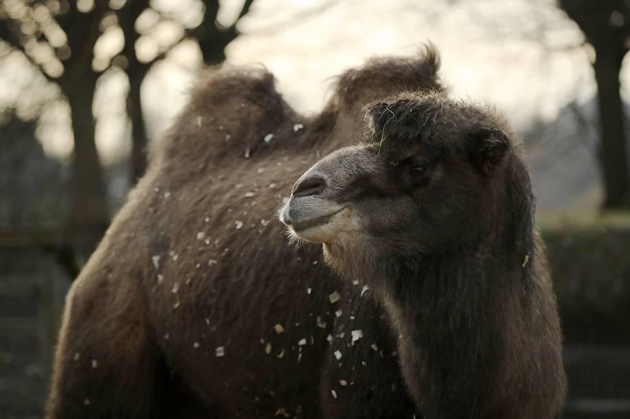 Camelo aguarda em sua jaula enquanto funcionários realizam a contagem de animais que acontece anualmente no zoológico de Londres, na Inglaterra - 03/01/2017
