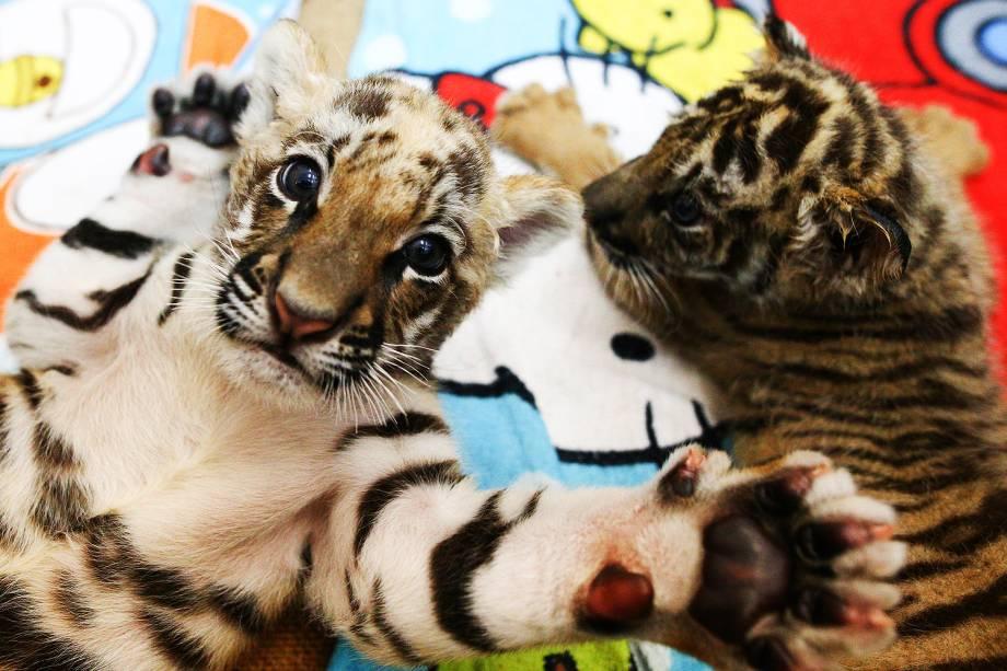 Filhotes de tigre são apresentados no zoológico de Sriracha, na província de Chonburi, na Tailândia - 30/01/2017