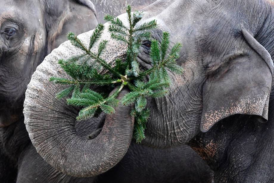 Elefante brinca com uma árvore de Natal no jardim zoológico de Berlim, na Alemanha - 03/01/2017