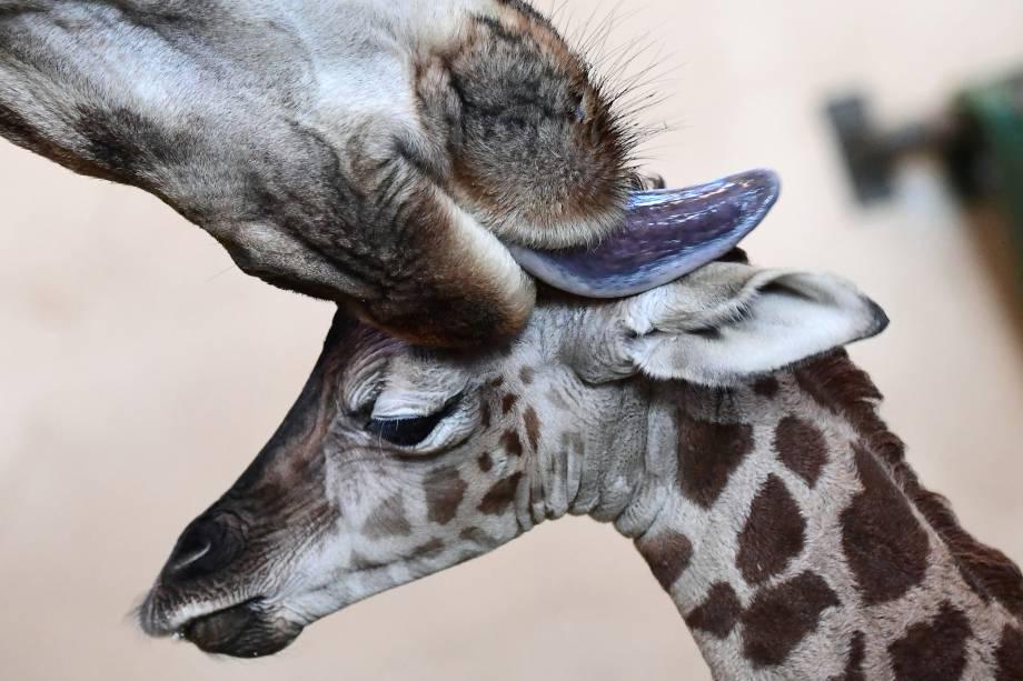 Filhote de girafa de três dias é limpo pela mãe no zoológico de Budapeste, na Hungria - 03/01/2017