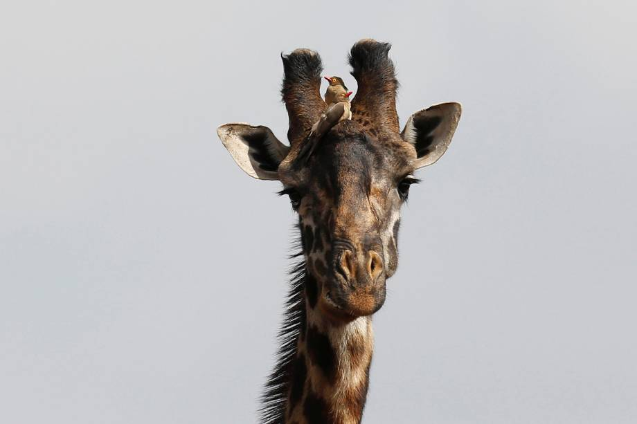 Pássaros da espécie pica-bois-de-bico-vermelho foram fotografados sobre a cabeça de uma girafa em busca de parasitas no Parque Nacional de Nairóbi, no Quênia - 23/01/2017