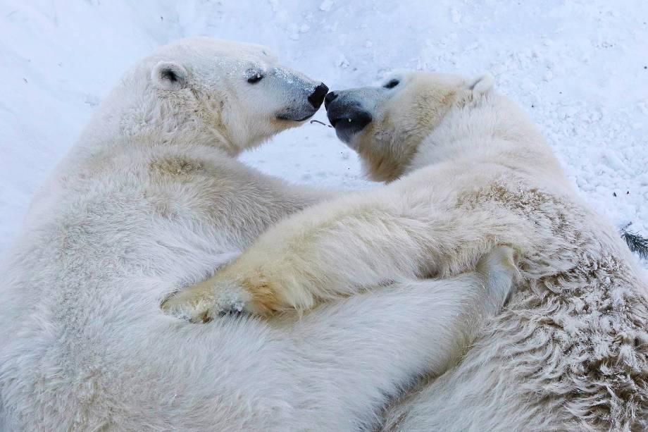 Ursos polares brincam em seu recinto no zoológico Royev Ruchy em Krasnoyarsk, na Sibéria - 23/01/2017
