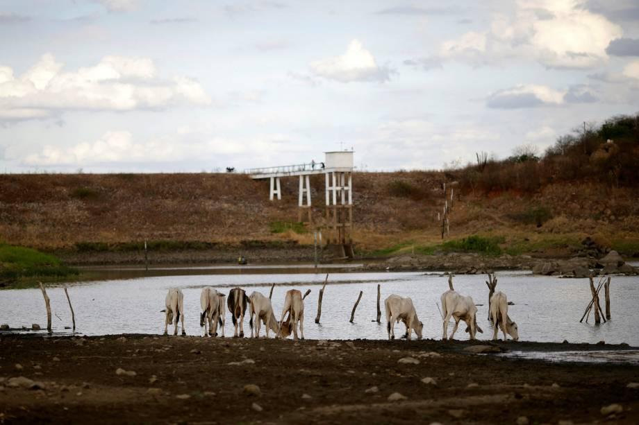 Gados bebem água do reservatório de Poções, Paraíba