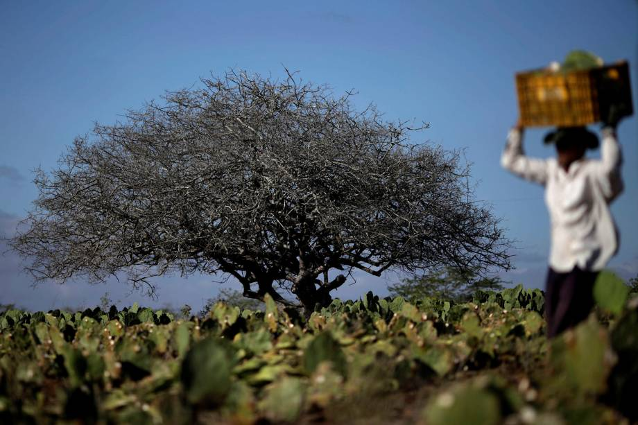 Fazendeiro trabalha em uma plantação de cactos em Pocinhos, Paraíba