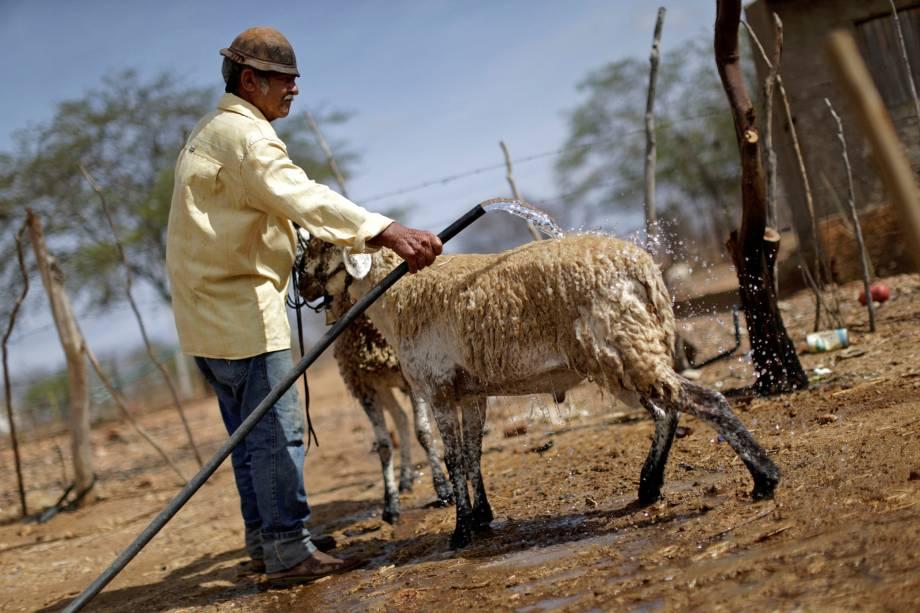 Heleno Campos Ferreira, 65 anos, usa água para dar banho em suas ovelhas depois de buscá-la em um poço de uma fazenda no município de Poções, em Monteiro, Paraíba