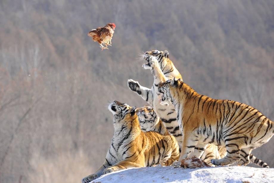 Tigres siberianos se preparam para atacar presa em um retiro de procriação de tigres em Mudanjiang, China - 10/02/2017