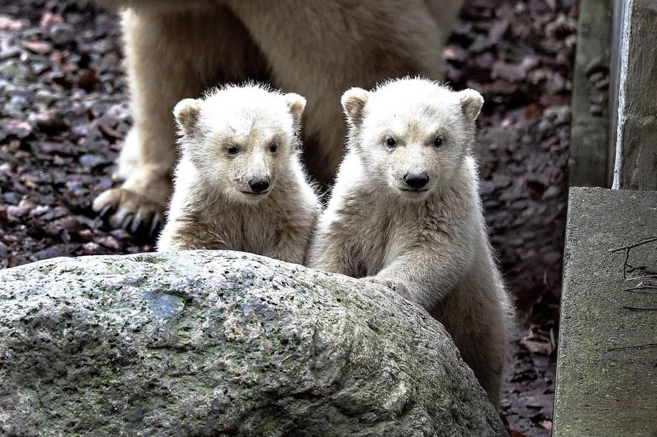 Filhotes de urso polar acompanhados da mãe no zoológico de Aalborg, Dinamarca - 22/02/2017
