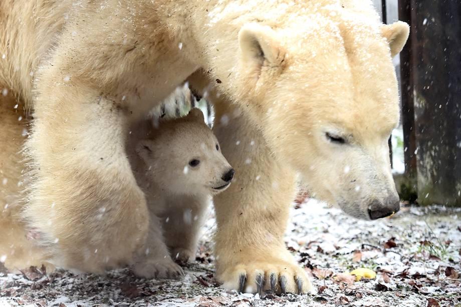 Filhote de urso polar se protege embaixo de sua mãe em zoológico de Mulhouse, leste da França - 10/02/2017