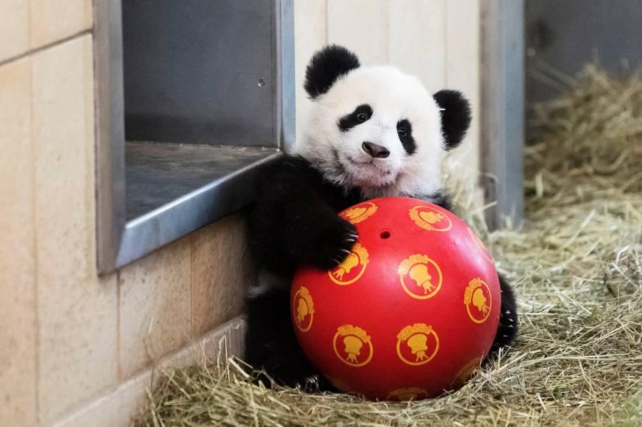 Filhote gêmeo da panda gigante nascido em agosto de 2016, é visto em seu recinto em imagem divulgada hoje pelo zoológico de Schoenbrunn em Viena, na Áustria - 08/02/2017