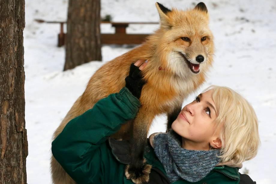 Funcionária do zoológico de Krasnoyarsk, na Sibéria realiza um programa de treinamento de domesticação com uma raposa vermelha de 11 meses para pesquisa e interação do animal com os visitantes do zoológico - 08/02/2017