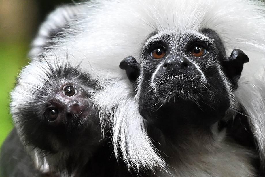 Filhote de sagui-cabeça-de-algodão é fotografado junto com sua mãe no zoológico de Singapura - 15/02/2017