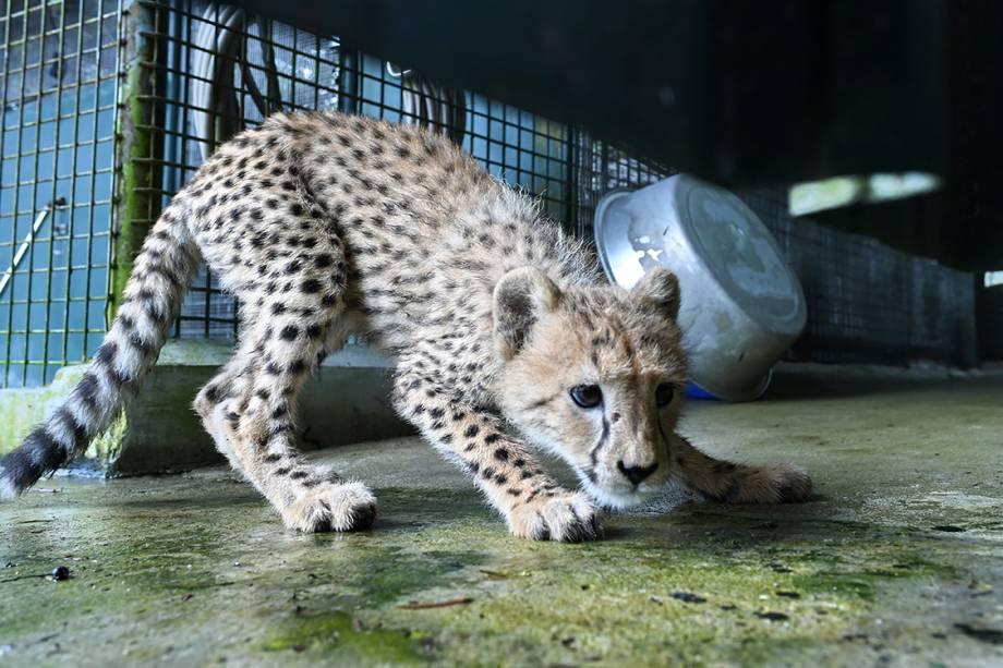 Bebê chita é fotografado em sua jaula, em um zoológico de reabilitação em Singapura - 15/02/2017