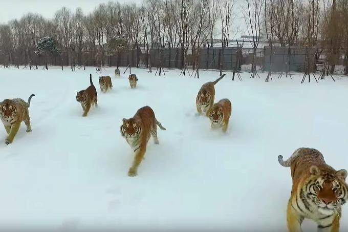 Tigres siberianos perseguem drone