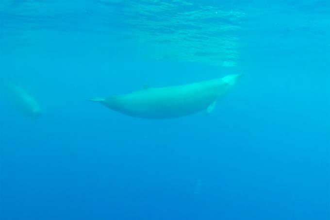 Baleias-bicudas-de-true