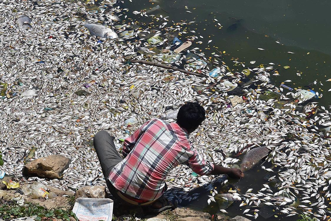Homem pega peixes mortos no lago Ulsoor, em Bangalore, Índia