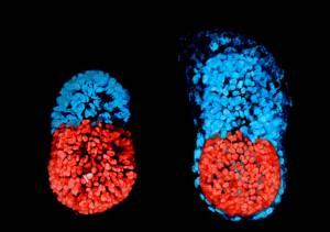 Embrião artificial de camundongo