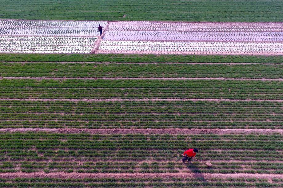 Camponeses trabalham em plantação de trigo em Liaocheng, China - 16/03/2017