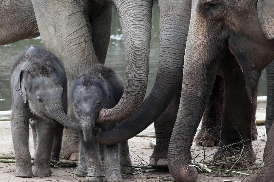 Elefante recém-nascido recebe carinho de seu irmão Jung Bul Kne  e dos outros animais adultos no zoológico de Colônia, na Alemanha - 20/03/2017