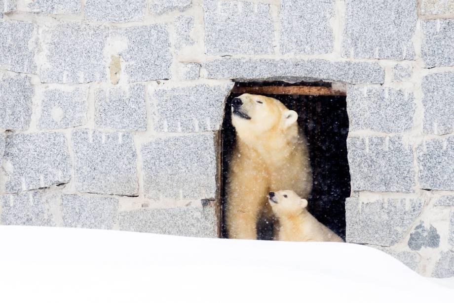 Urso polar Venus aparece com seu filhote pela primeira vez ao público no parque de animais selvagens de Ranua, na Finlândia - 15/03/2017