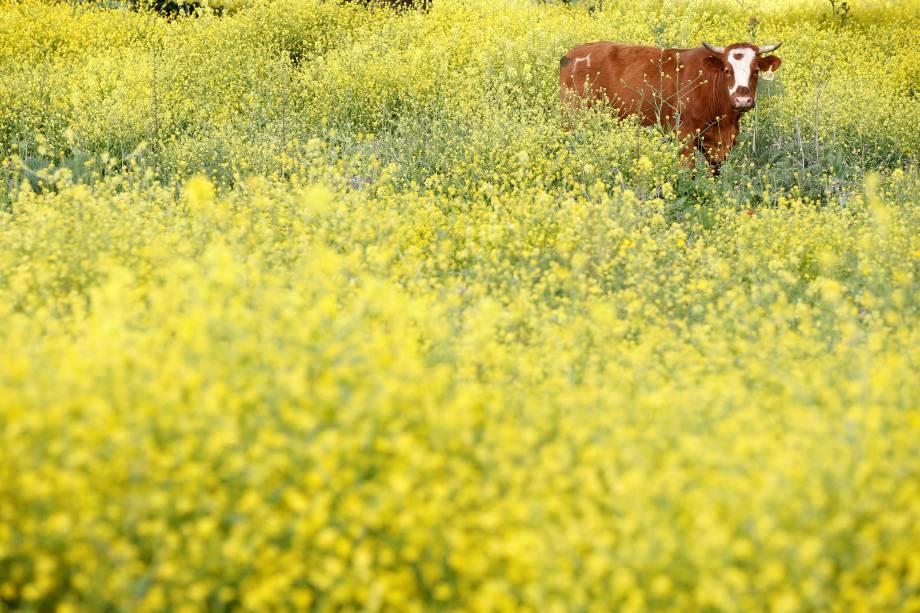 Vaca pasta em um campo de Sinapis nas Colinas de Golã, em Israel - 20/03/2017