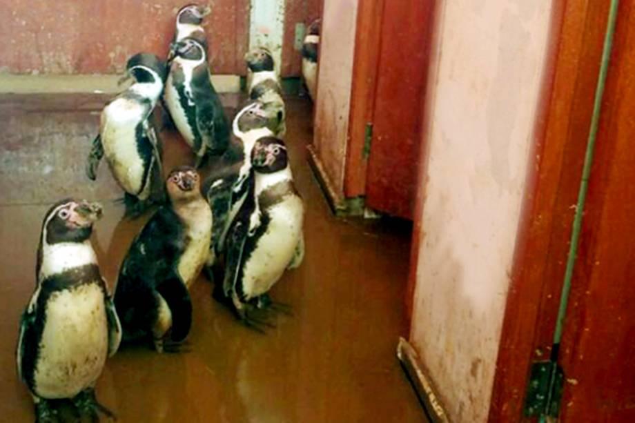 Penguins são recapturados após inundação do zoológico Las Pirkas, em Lambayeque, Peru - 15/03/2017