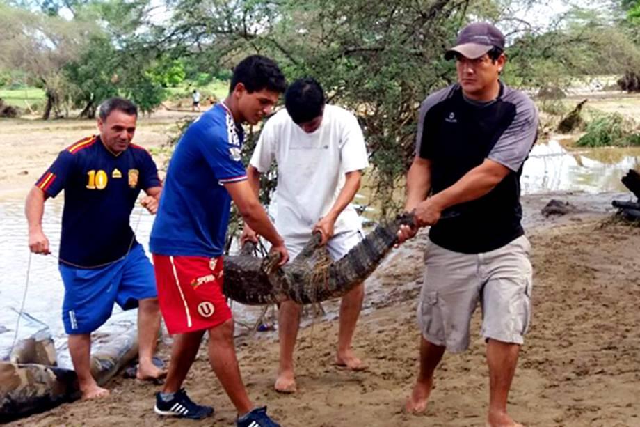 Crocodilo é recuperado após inundação do zoológico Las Pirkas, em Lambayeque, Peru - 15/03/2017