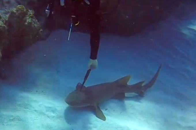 Tubarão pede ajuda de mergulhador para retirar faca da cabeça