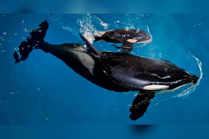 Baleia Orca Takara dá à luz