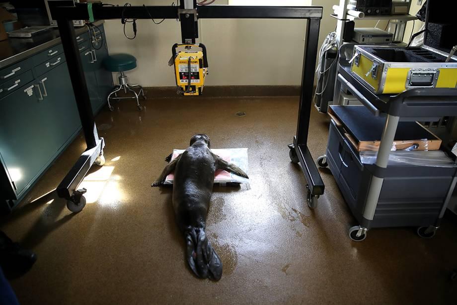 Funcionários cuidam de foca internada em centro de reabilitação para focas em Sausalito, na Califórnia
